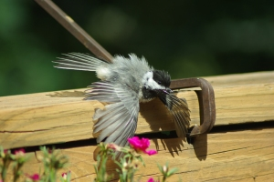 Cooling Off - Black-capped Chickadee