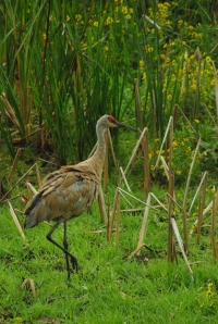 Walking Tall - Sandhill Crane